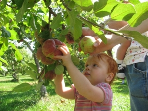 angel picking apples